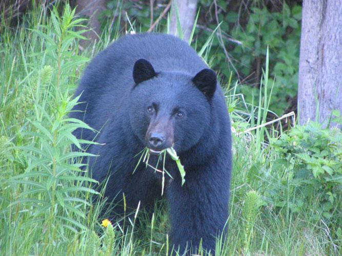 Fat Island bear